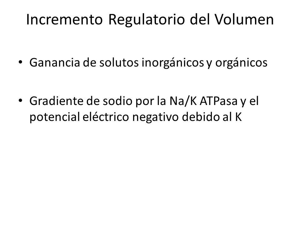 Incremento Regulatorio del Volumen Ganancia de solutos inorgánicos y orgánicos Gradiente de sodio por la Na/K ATPasa y el potencial eléctrico negativo