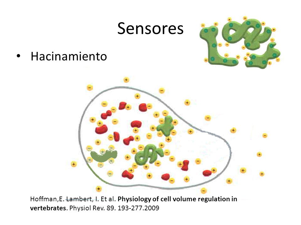 Sensores Hacinamiento Hoffman,E. Lambert, I. Et al. Physiology of cell volume regulation in vertebrates. Physiol Rev. 89. 193-277.2009
