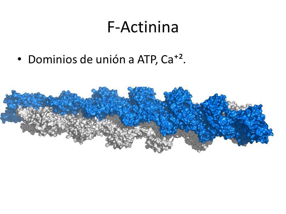 F-Actinina Dominios de unión a ATP, Ca².