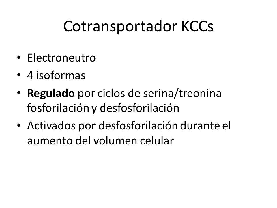 Cotransportador KCCs Electroneutro 4 isoformas Regulado por ciclos de serina/treonina fosforilación y desfosforilación Activados por desfosforilación