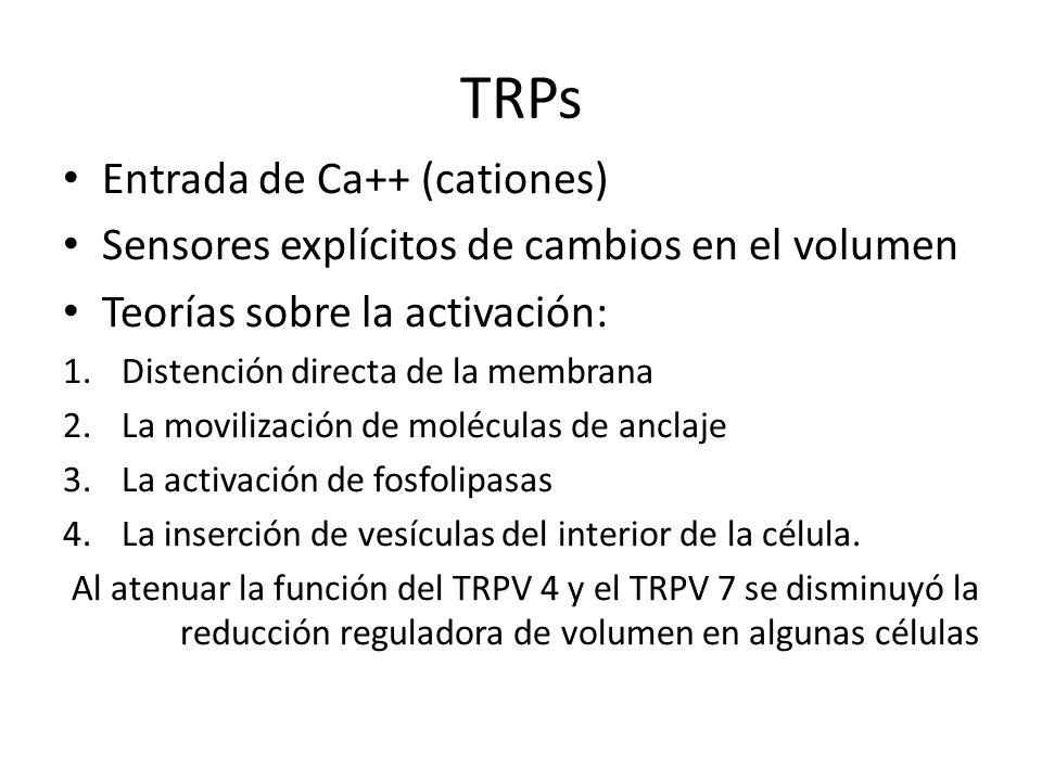 TRPs Entrada de Ca++ (cationes) Sensores explícitos de cambios en el volumen Teorías sobre la activación: 1.Distención directa de la membrana 2.La mov