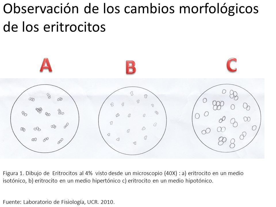 Observación de los cambios morfológicos de los eritrocitos Fuente: Laboratorio de Fisiología, UCR. 2010. Figura 1. Dibujo de Eritrocitos al 4% visto d