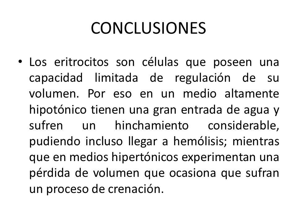 CONCLUSIONES Los eritrocitos son células que poseen una capacidad limitada de regulación de su volumen. Por eso en un medio altamente hipotónico tiene