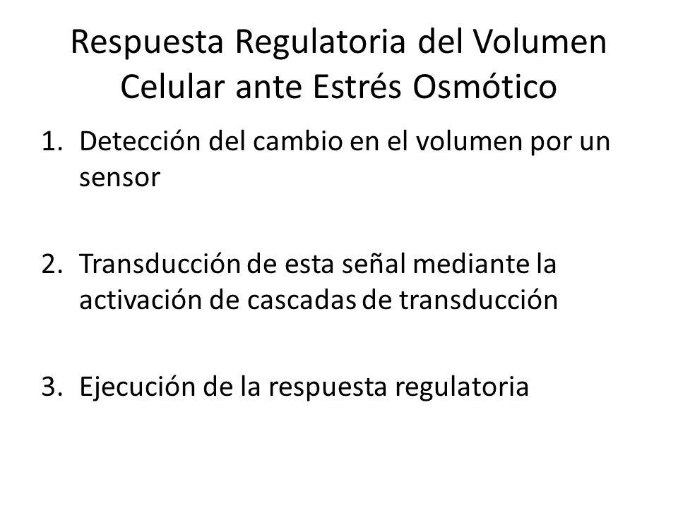 Respuesta Regulatoria del Volumen Celular ante Estrés Osmótico 1.Detección del cambio en el volumen por un sensor 2.Transducción de esta señal mediant