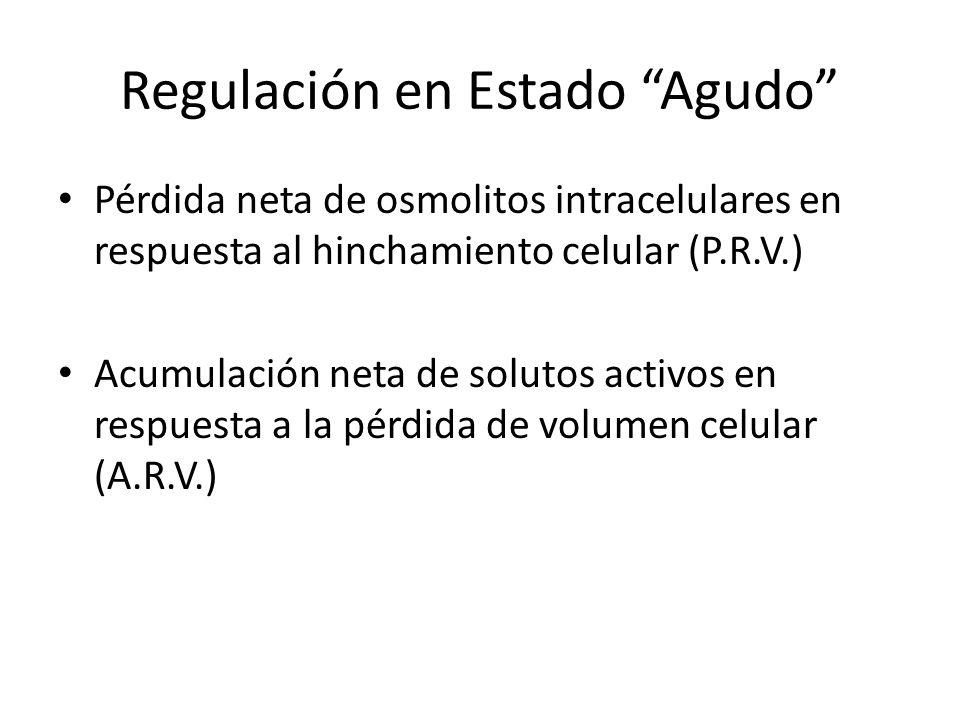Regulación en Estado Agudo Pérdida neta de osmolitos intracelulares en respuesta al hinchamiento celular (P.R.V.) Acumulación neta de solutos activos