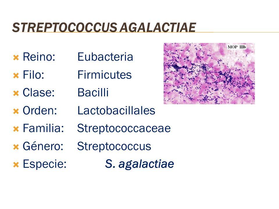 STREPTOCOCCUS AGALACTIAE Reino: Eubacteria Filo: Firmicutes Clase: Bacilli Orden: Lactobacillales Familia: Streptococcaceae Género: Streptococcus Espe