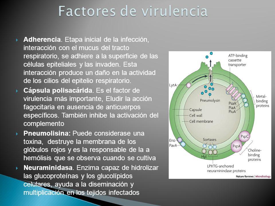Adherencia. Etapa inicial de la infección, interacción con el mucus del tracto respiratorio, se adhiere a la superficie de las células epiteliales y l