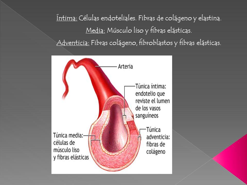 Íntima: Células endoteliales. Fibras de colágeno y elastina. Media: Músculo liso y fibras elásticas. Adventicia: Fibras colágeno, fibroblastos y fibra