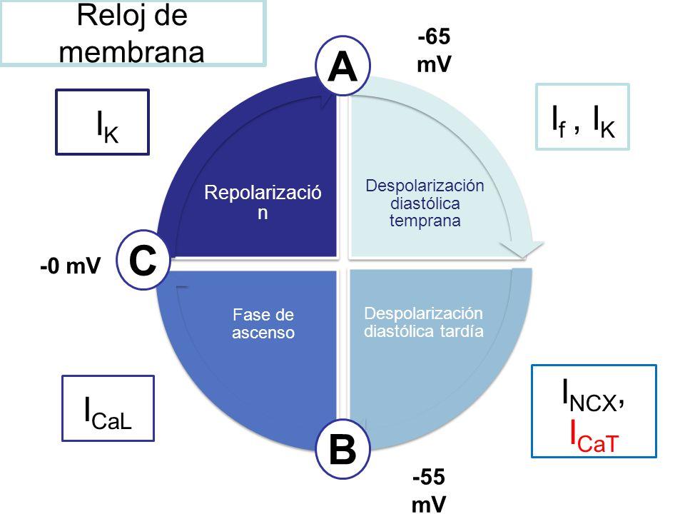 Despolarización diastólica temprana Despolarización diastólica tardía Fase de ascenso Repolarizació n A C B -65 mV -55 mV -0 mV I f, I K I NCX, I CaT
