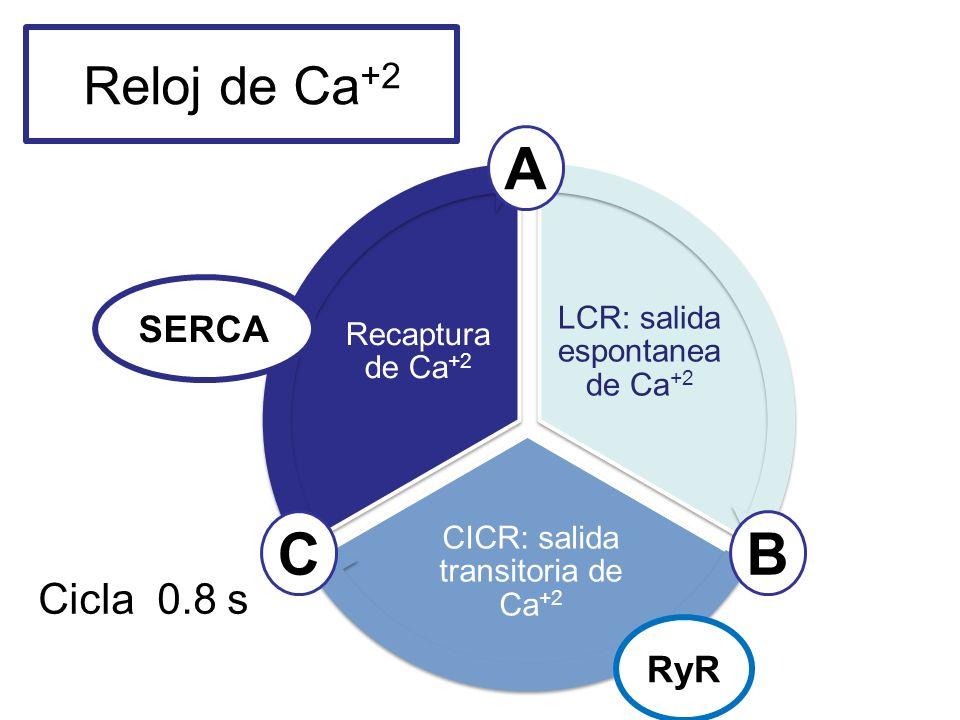 Reloj de Ca +2 LCR: salida espontanea de Ca +2 CICR: salida transitoria de Ca +2 Recaptura de Ca +2 A CB Cicla 0.8 s RyR SERCA