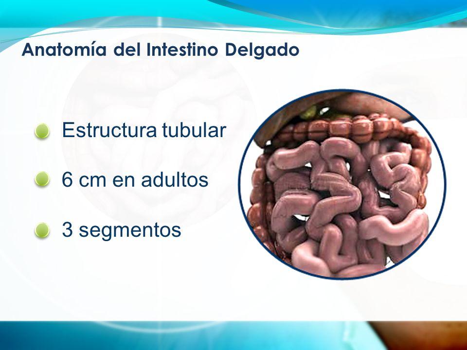 Anatomía del Intestino Delgado Estructura tubular 6 cm en adultos 3 segmentos