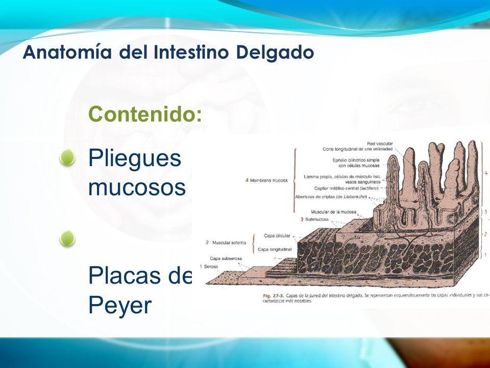 Anatomía del Intestino Delgado Pliegues mucosos Placas de Peyer Contenido:
