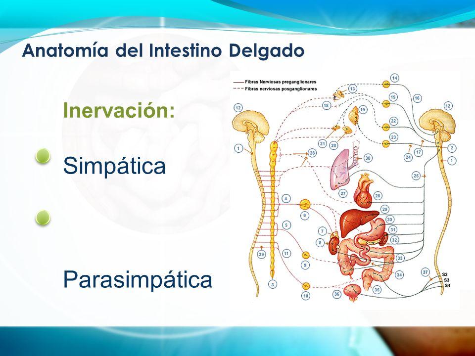 Fisiología del Intestino Delgado Digestión y Absorción Agua, electrolitos Grasas Proteínas Vitaminas, minerales
