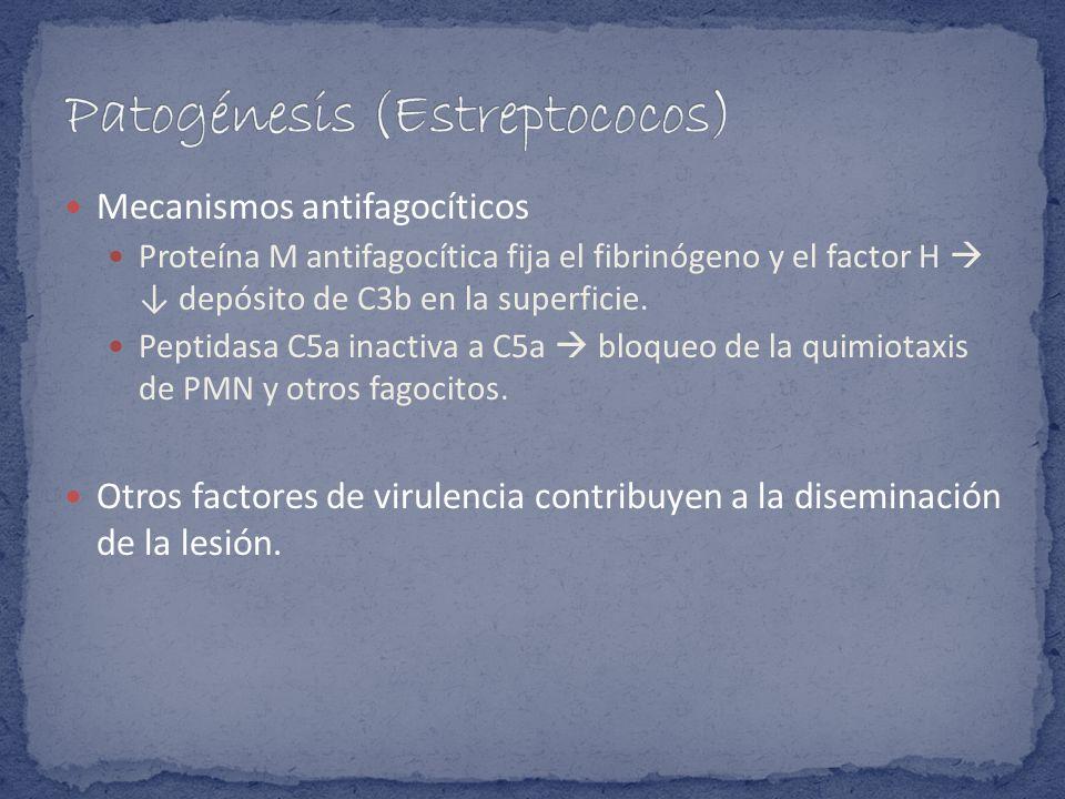Mecanismos antifagocíticos Proteína M antifagocítica fija el fibrinógeno y el factor H depósito de C3b en la superficie. Peptidasa C5a inactiva a C5a