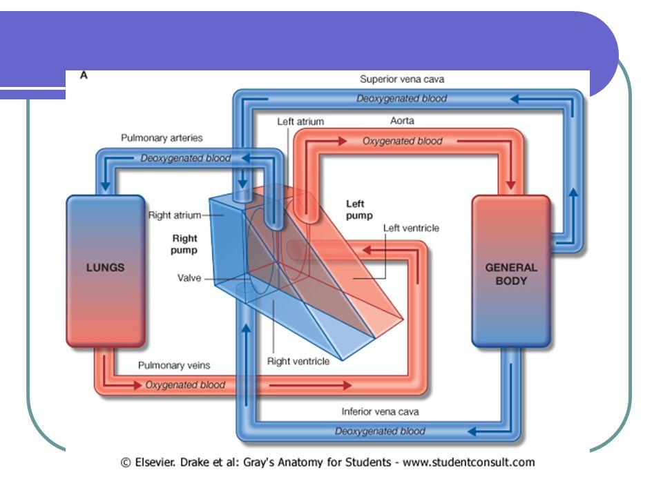 Receptores de Distensión Pulmonar Receptores de Distensión Pulmonar Fuente: Modificado de Berne, R & M.