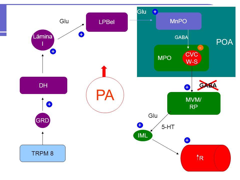 TRPM 8 GRD DH Lámina I LPBel Glu POA MnPO Glu MPO CVC W-S MVM/ RP IML R + + + + + + - GABA + Glu 5-HT FC PA