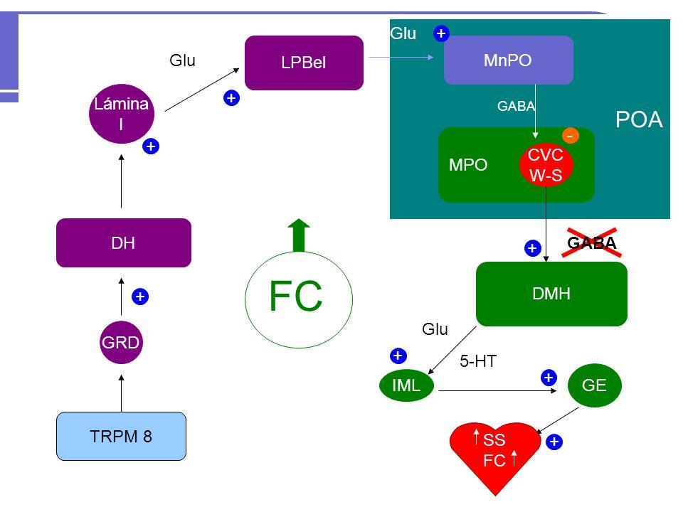 TRPM 8 GRD DH Lámina I LPBel Glu POA MnPO Glu MPO CVC W-S DMH IML + + + + + + - GABA Glu 5-HT FC GE SS FC + +