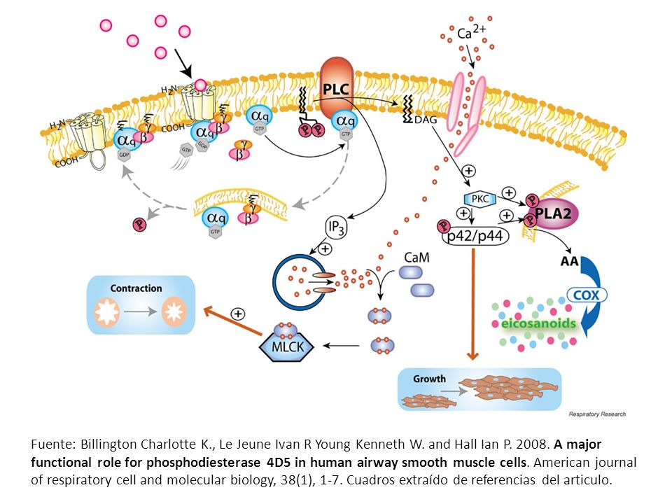 Fuente: Billington Charlotte K., Le Jeune Ivan R Young Kenneth W. and Hall Ian P. 2008. A major functional role for phosphodiesterase 4D5 in human air