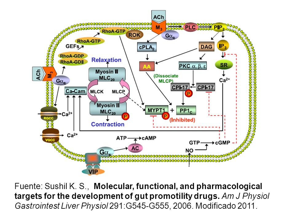 Fuente: Sushil K. S., Molecular, functional, and pharmacological targets for the development of gut promotility drugs. Am J Physiol Gastrointest Liver
