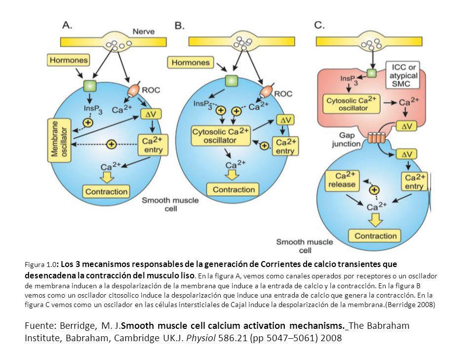 Figura 1.0 : Los 3 mecanismos responsables de la generación de Corrientes de calcio transientes que desencadena la contracción del musculo liso.