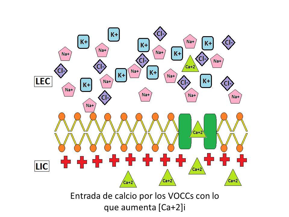 Entrada de calcio por los VOCCs con lo que aumenta [Ca+2]i