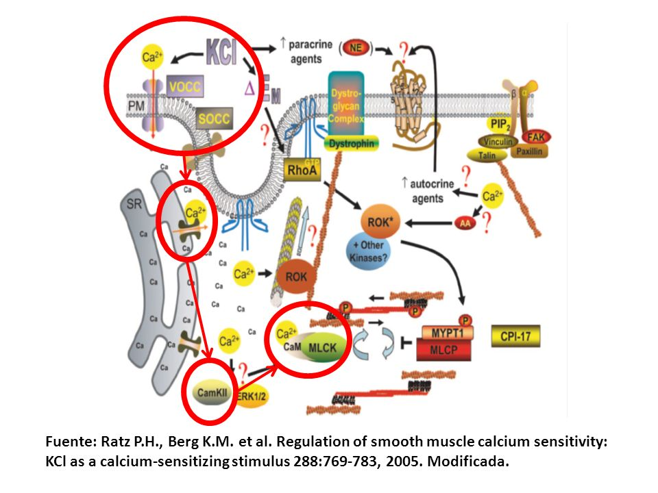 Fuente: Ratz P.H., Berg K.M. et al. Regulation of smooth muscle calcium sensitivity: KCl as a calcium-sensitizing stimulus 288:769-783, 2005. Modifica