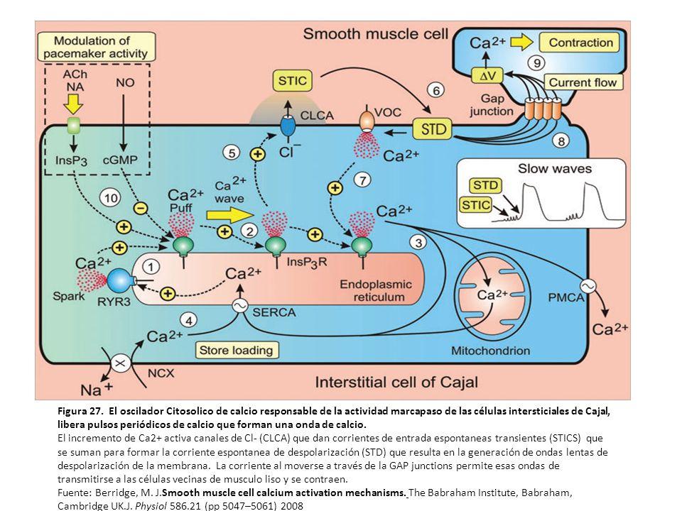 Despolarización de la membrana con lo que aumenta la probabilidad de apertura de los VOCCs
