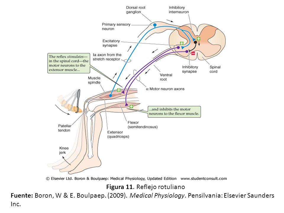 Figura 11. Reflejo rotuliano Fuente: Boron, W & E. Boulpaep. (2009). Medical Physiology. Pensilvania: Elsevier Saunders Inc.