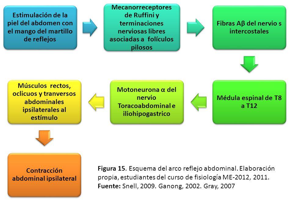 Estimulación de la piel del abdomen con el mango del martillo de reflejos Mecanorreceptores de Ruffini y terminaciones nerviosas libres asociadas a fo