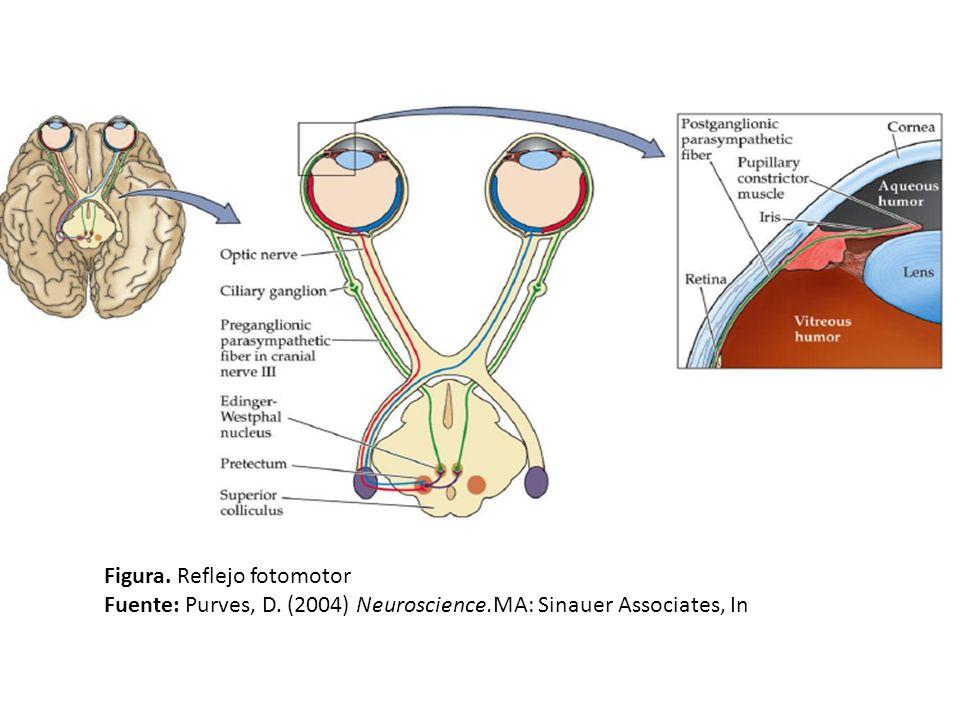 Figura. Reflejo fotomotor Fuente: Purves, D. (2004) Neuroscience.MA: Sinauer Associates, In