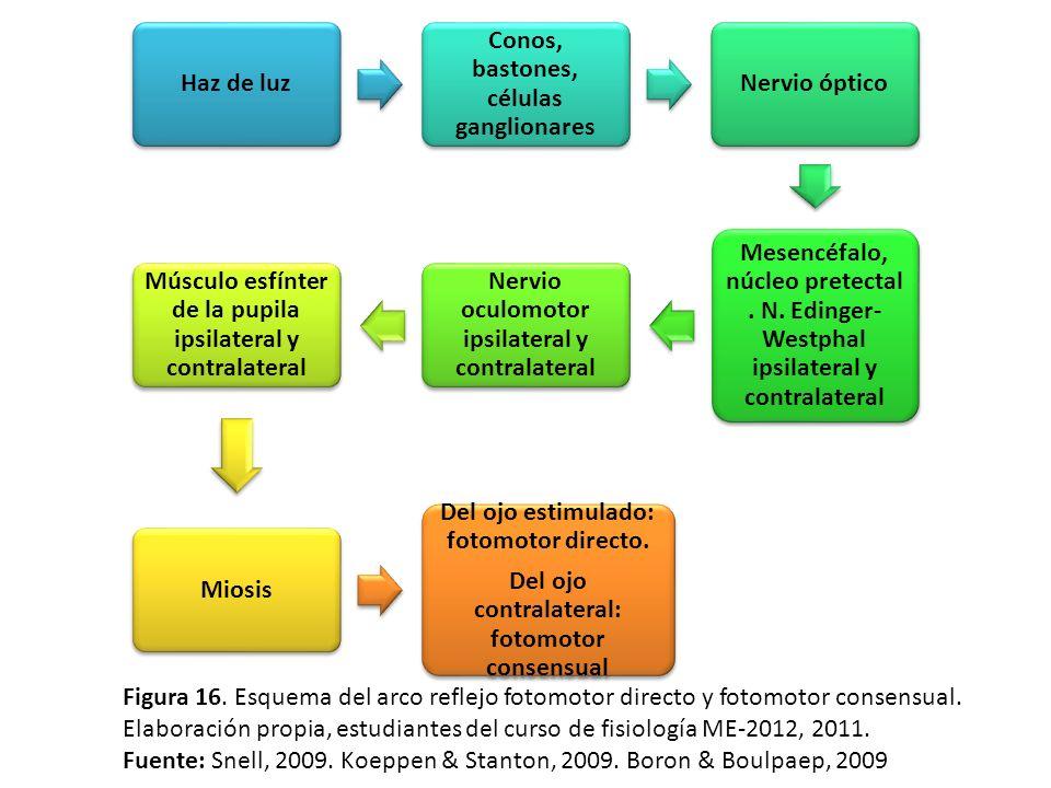 Haz de luz Conos, bastones, células ganglionares Nervio óptico Mesencéfalo, núcleo pretectal. N. Edinger- Westphal ipsilateral y contralateral Nervio