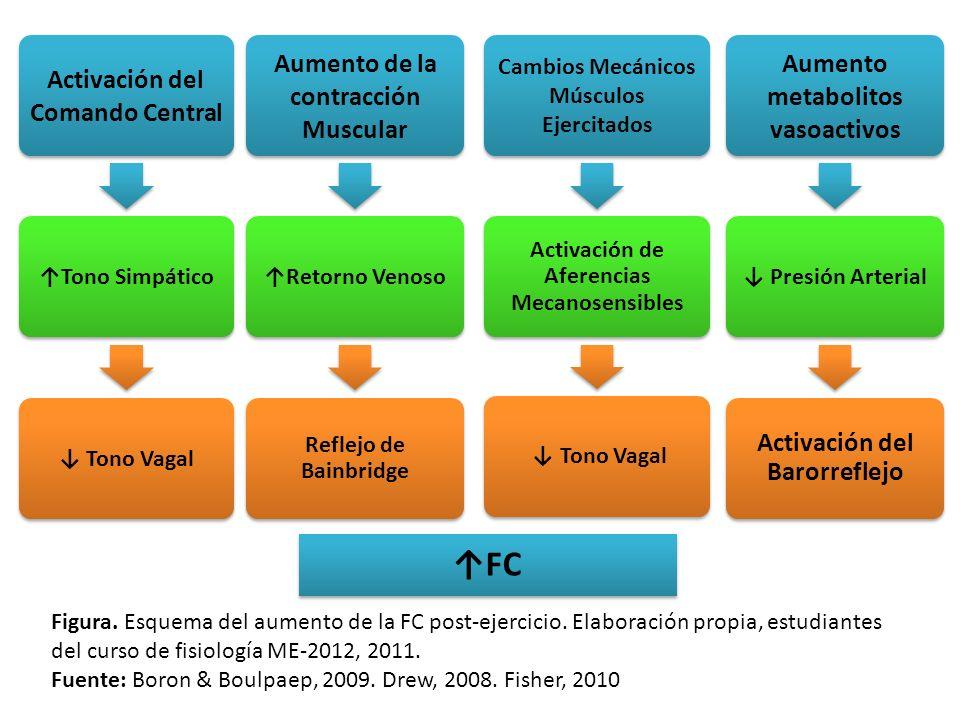 Activación del Comando Central Tono Simpático Tono Vagal Aumento de la contracción Muscular Retorno Venoso Reflejo de Bainbridge Aumento metabolitos v