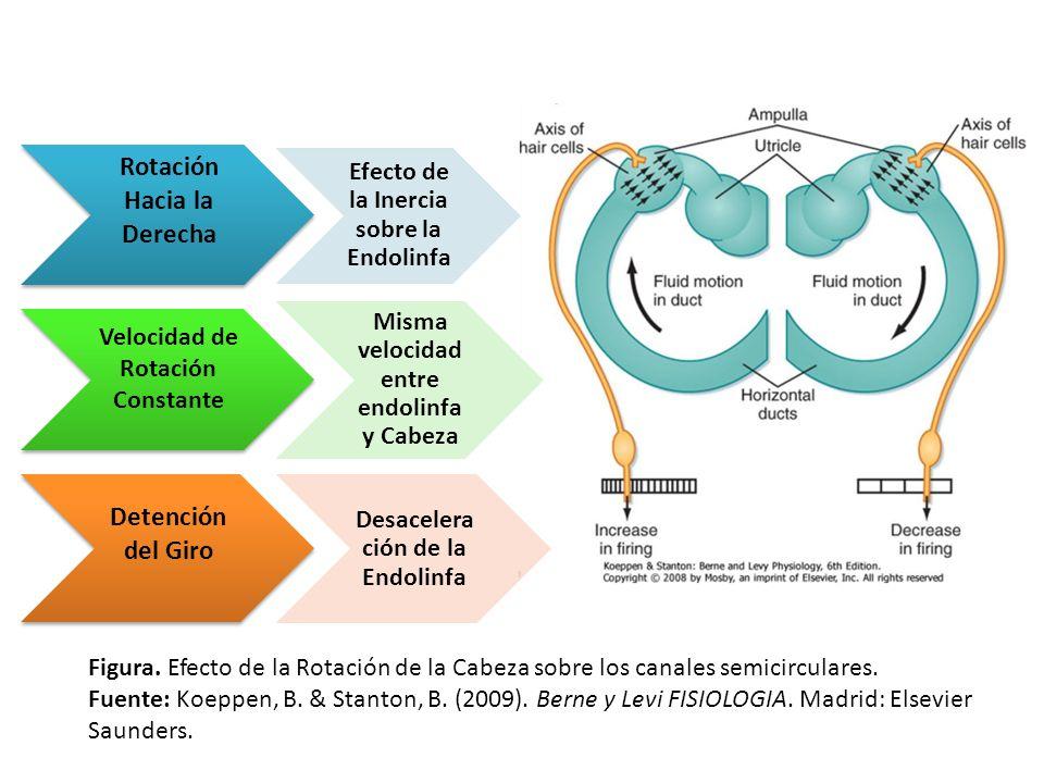 Rotación Hacia la Derecha Efecto de la Inercia sobre la Endolinfa Velocidad de Rotación Constante Misma velocidad entre endolinfa y Cabeza Detención d