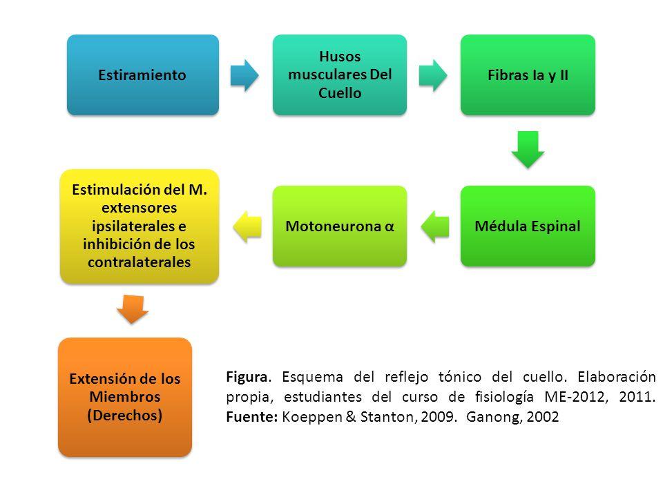 Estiramiento Husos musculares Del Cuello Fibras Ia y IIMédula EspinalMotoneurona α Estimulación del M. extensores ipsilaterales e inhibición de los co