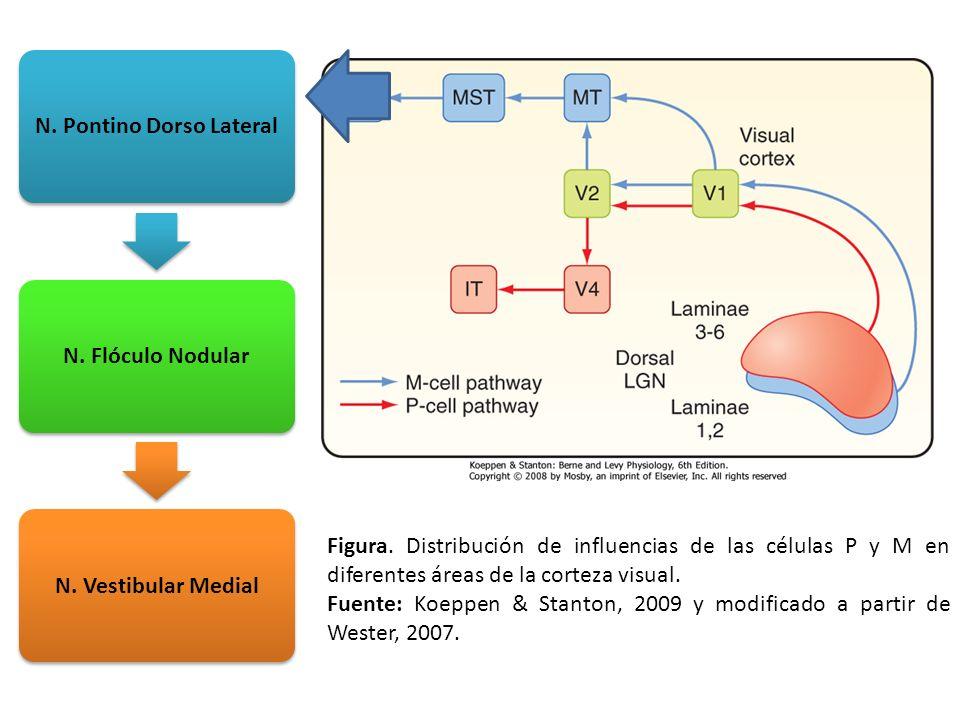 Figura. Distribución de influencias de las células P y M en diferentes áreas de la corteza visual. Fuente: Koeppen & Stanton, 2009 y modificado a part