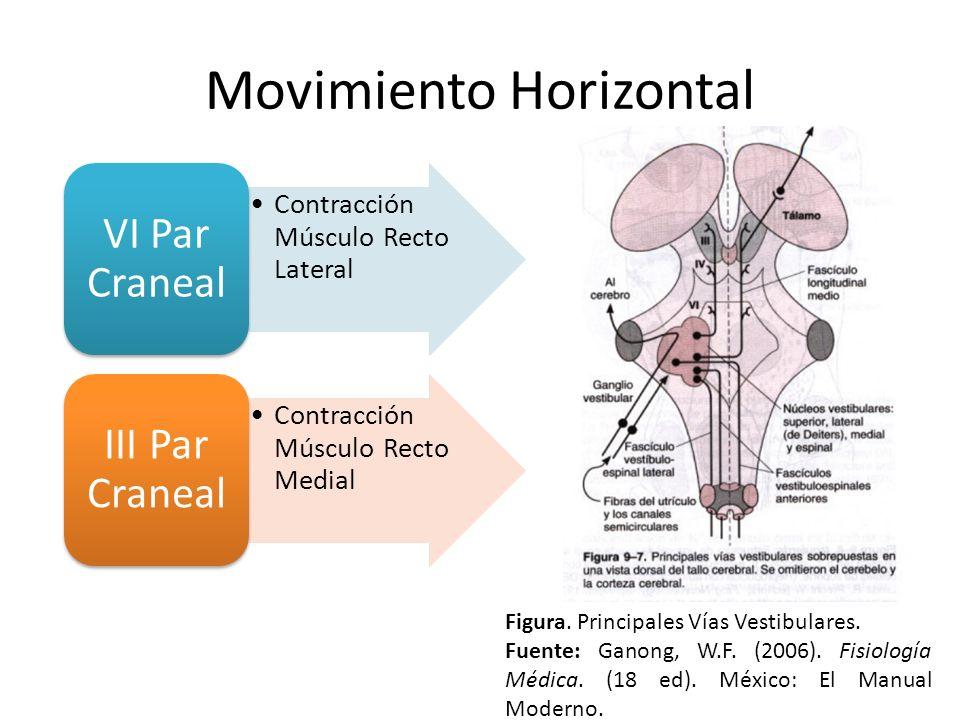 Movimiento Horizontal Contracción Músculo Recto Lateral VI Par Craneal Contracción Músculo Recto Medial III Par Craneal Figura. Principales Vías Vesti