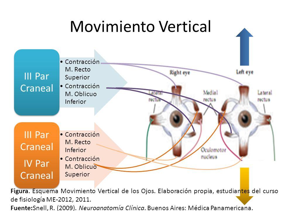 Movimiento Vertical Contracción M. Recto Superior Contracción M. Oblicuo Inferior III Par Craneal Contracción M. Recto Inferior Contracción M. Oblicuo