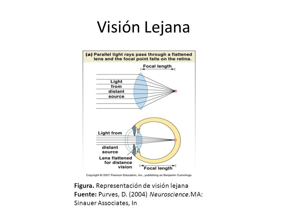 Figura. Representación de visión lejana Fuente: Purves, D. (2004) Neuroscience.MA: Sinauer Associates, In