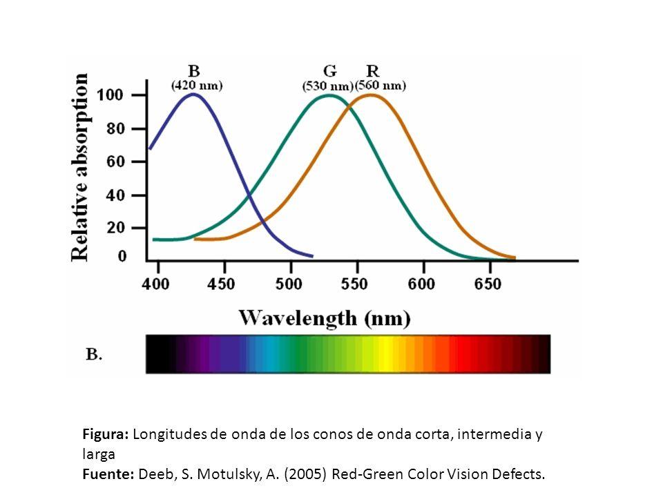 Figura: Longitudes de onda de los conos de onda corta, intermedia y larga Fuente: Deeb, S. Motulsky, A. (2005) Red-Green Color Vision Defects.