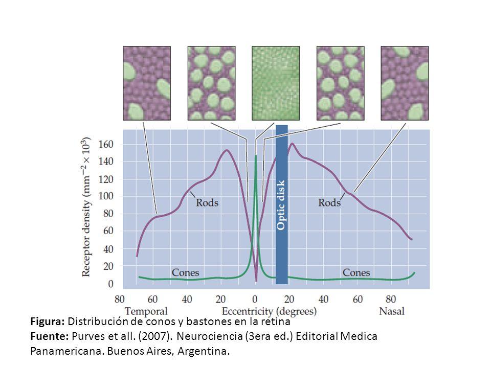 Figura: Distribución de conos y bastones en la retina Fuente: Purves et all. (2007). Neurociencia (3era ed.) Editorial Medica Panamericana. Buenos Air