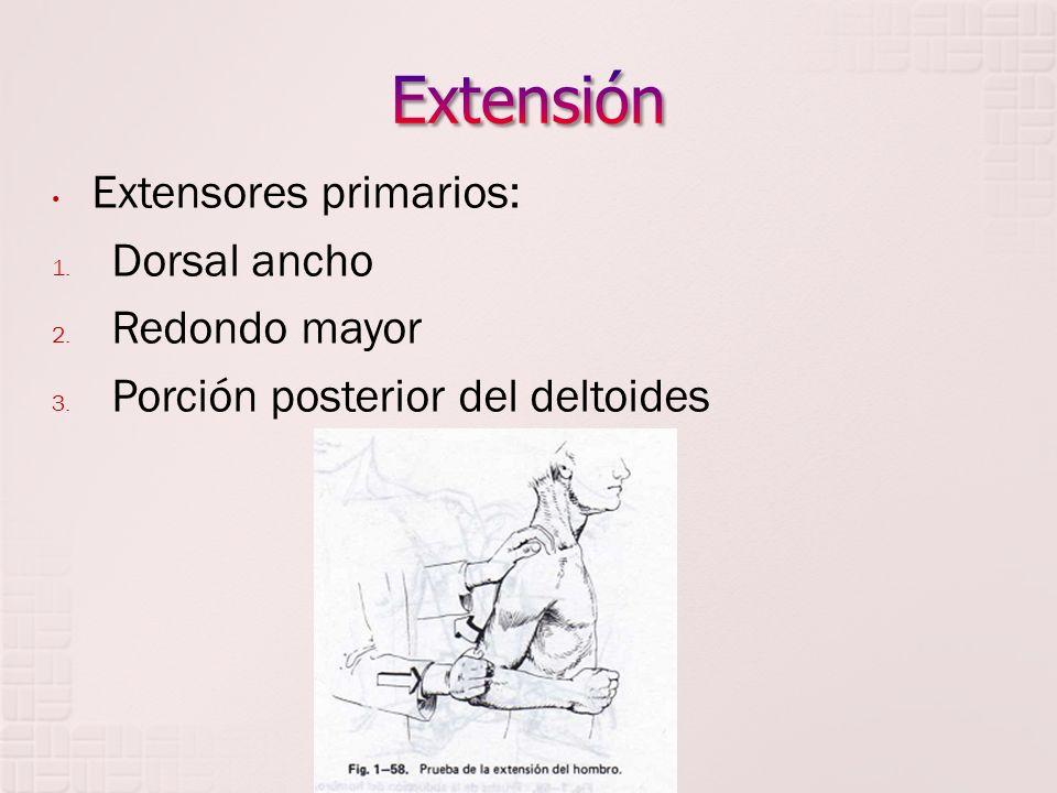Extensores primarios: 1. Dorsal ancho 2. Redondo mayor 3. Porción posterior del deltoides