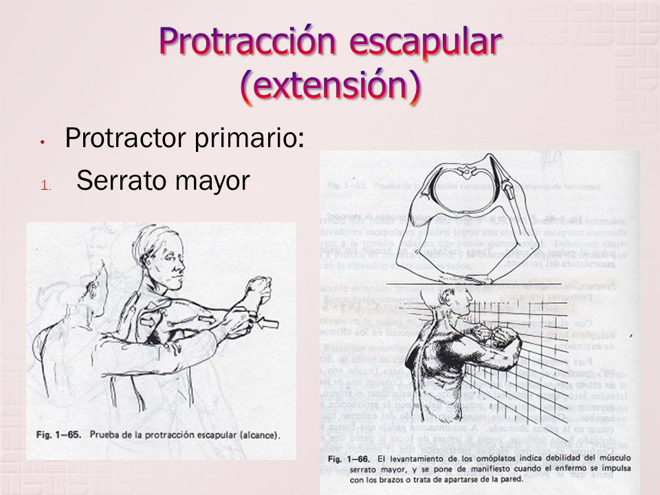 Protractor primario: 1. Serrato mayor