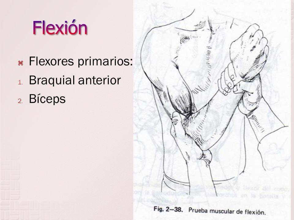 Flexores primarios: 1. Braquial anterior 2. Bíceps