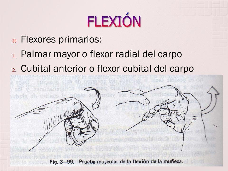 Flexores primarios: 1. Palmar mayor o flexor radial del carpo 2. Cubital anterior o flexor cubital del carpo