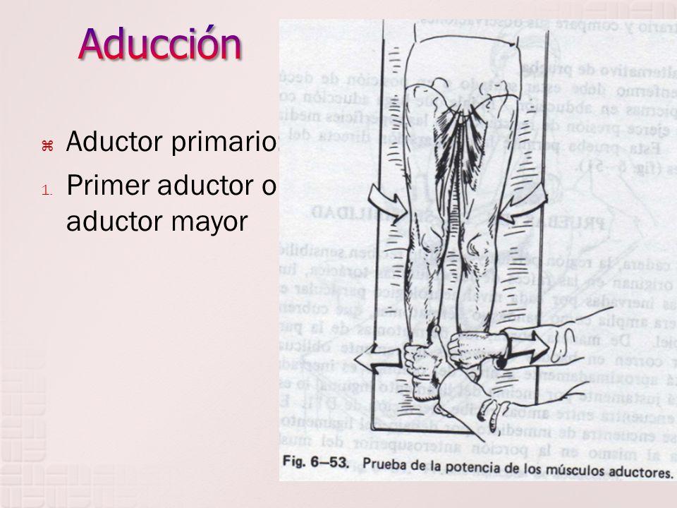 Aductor primario: 1. Primer aductor o aductor mayor