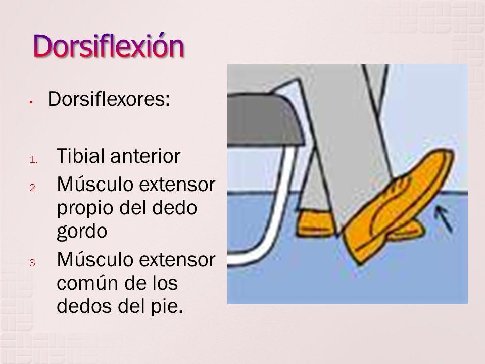 Dorsiflexores: 1. Tibial anterior 2. Músculo extensor propio del dedo gordo 3. Músculo extensor común de los dedos del pie.