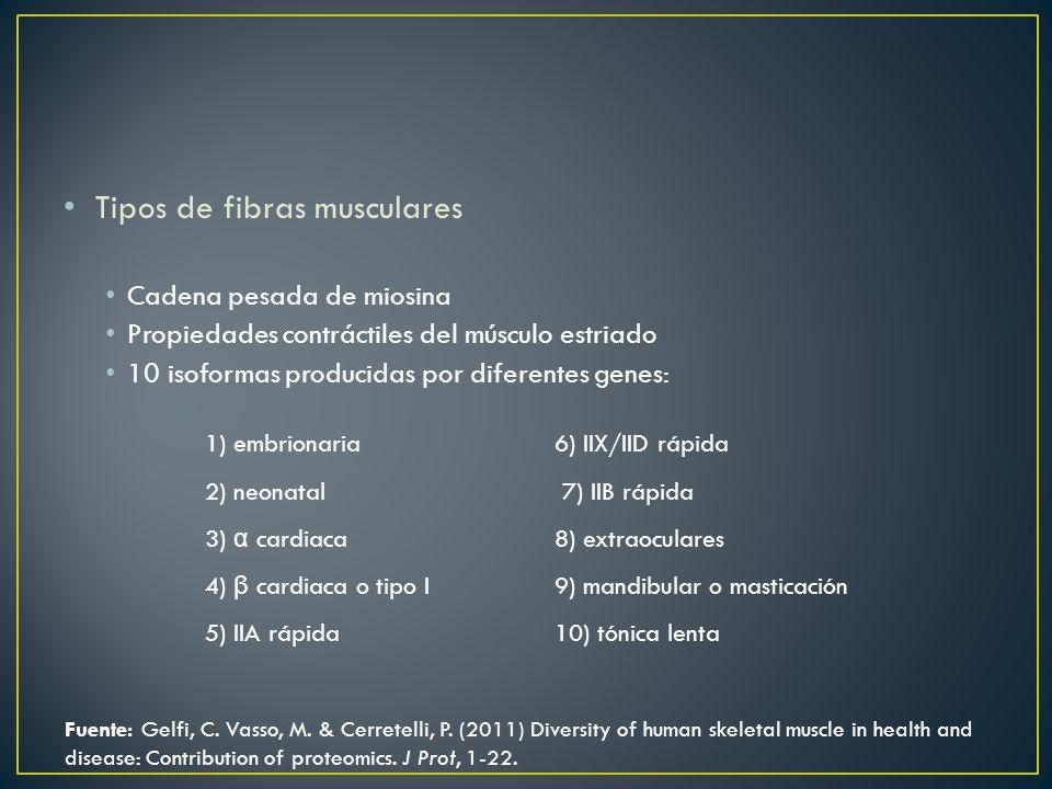 Tipos de fibras musculares Cadena pesada de miosina Propiedades contráctiles del músculo estriado 10 isoformas producidas por diferentes genes: 1) emb