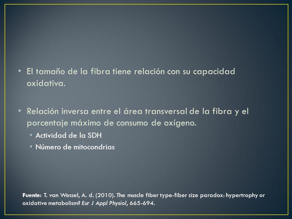 El tamaño de la fibra tiene relación con su capacidad oxidativa. Relación inversa entre el área transversal de la fibra y el porcentaje máximo de cons