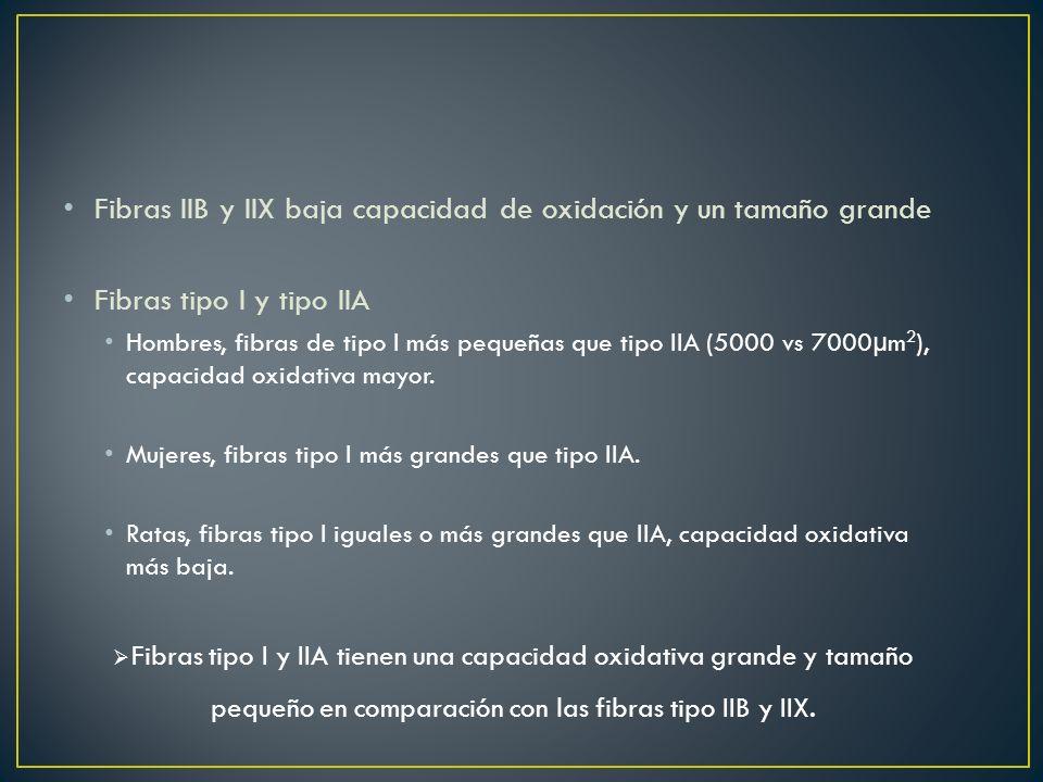 Fibras IIB y IIX baja capacidad de oxidación y un tamaño grande Fibras tipo I y tipo IIA Hombres, fibras de tipo I más pequeñas que tipo IIA (5000 vs