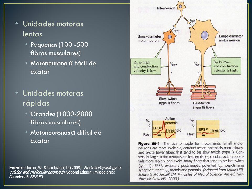 Unidades motoras lentas Pequeñas (100 -500 fibras musculares) Motoneurona α fácil de excitar Unidades motoras rápidas Grandes (1000-2000 fibras muscul